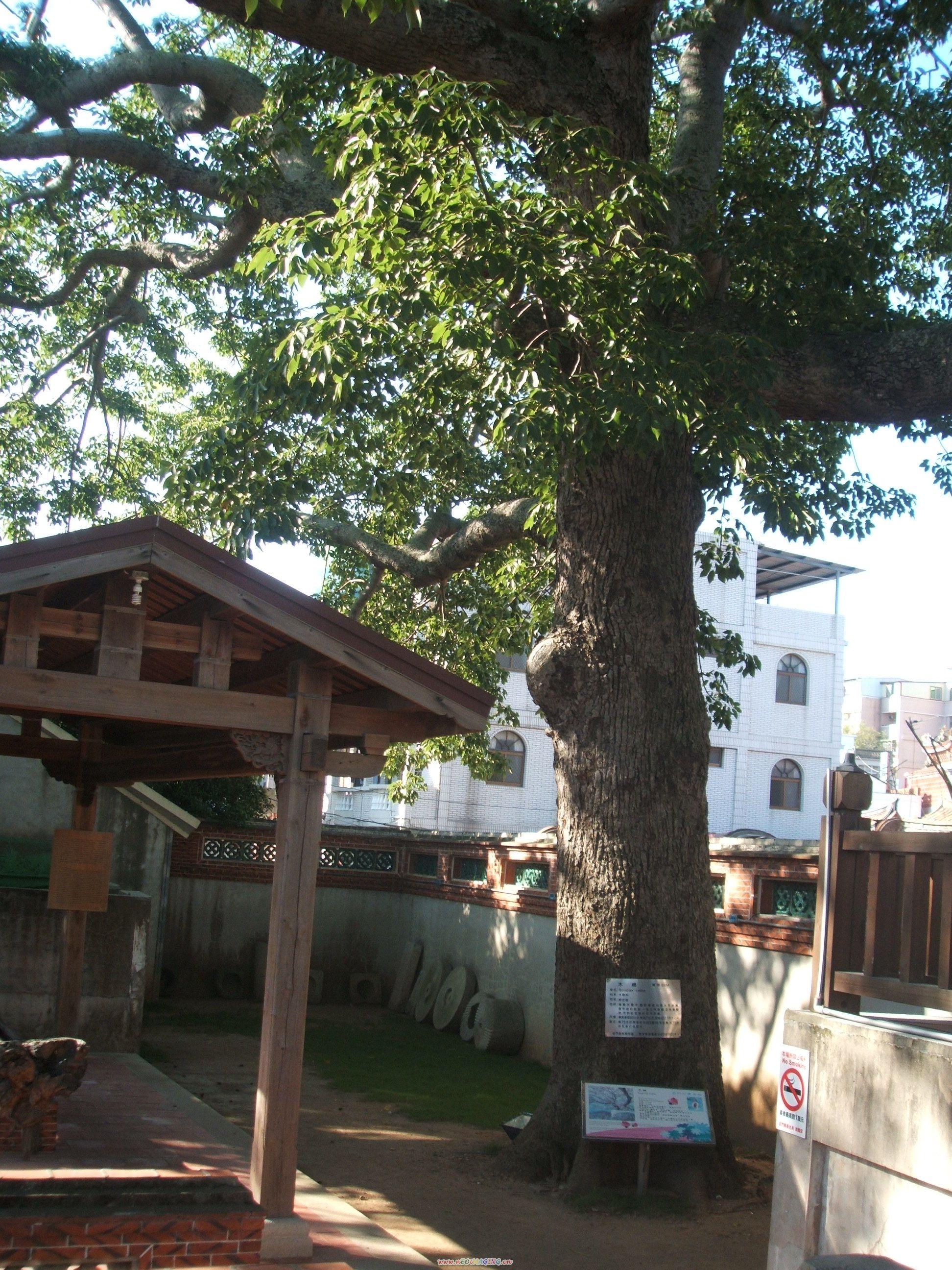 金門鎮總兵署後老木棉樹